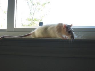 Samwise the Rat